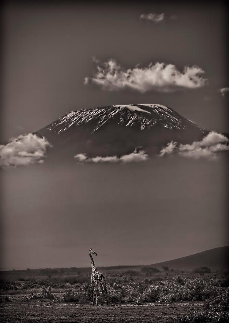 Kilimanjaro Giraffe